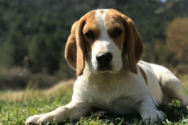 Ras Anjing Ini Suka Merusak Barang di Rumah