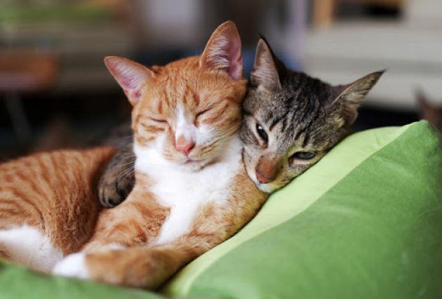 Jika Kucing Tersedak dan Cara Mengatasinya