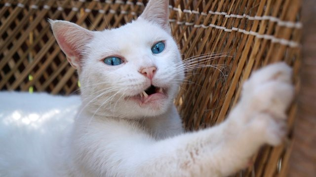 Kucing Terengah-Engah Seperti Anjing, Pertanda Apa