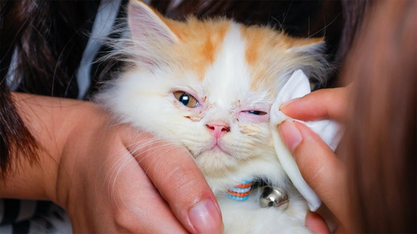 Penyebab Mata Kucing Berair