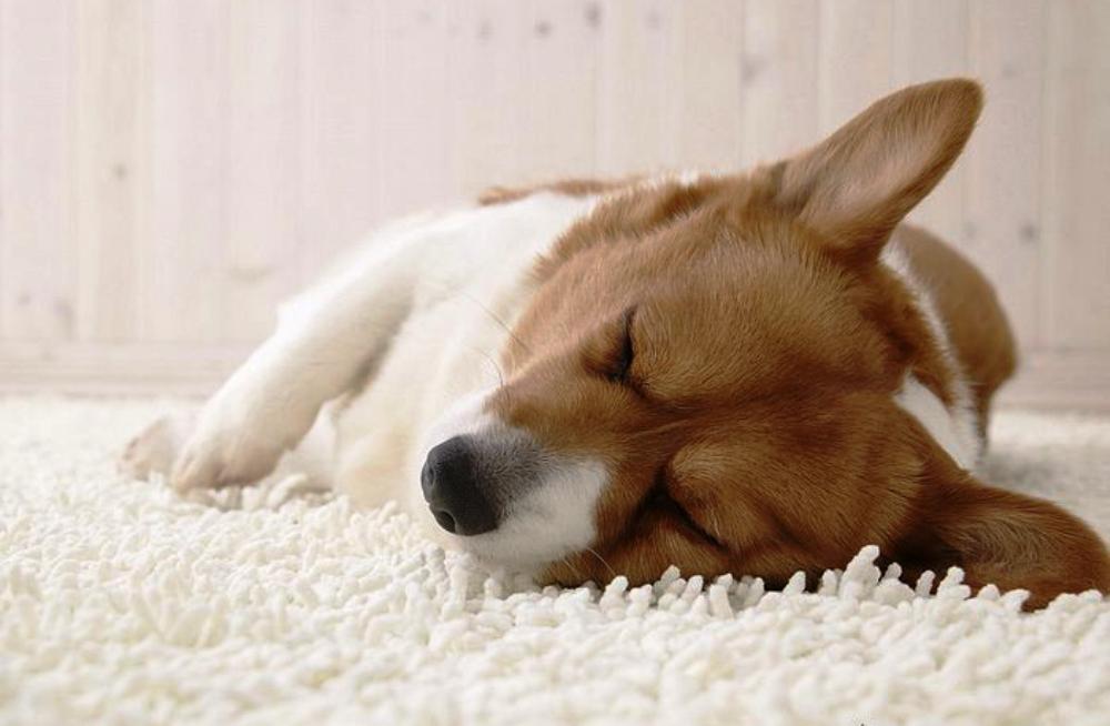 Tips Mencegah Anjing Anda Mengalami Perut Bengkak